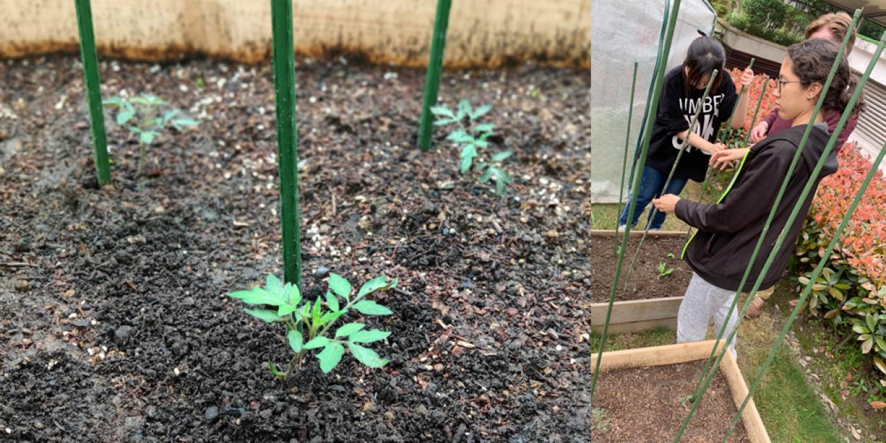 The Urban Farm project  recently added a second raised bed platform, which is currently home to these tiny tomato plants.
