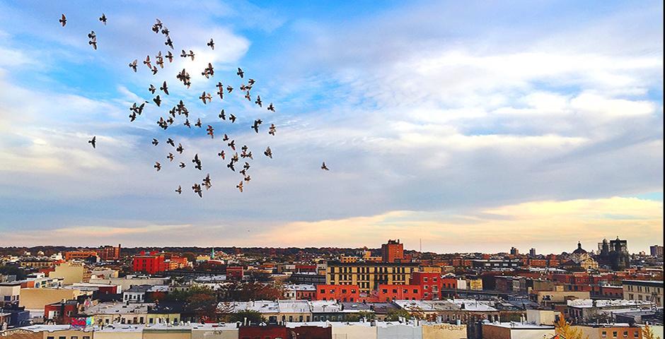 这是在纽约布鲁克林一栋建筑的屋顶上拍的。一群鸟儿在11月的天空中盘旋飞翔,薄暮映照在有年代感的建筑群上。——王可捷(纽约)