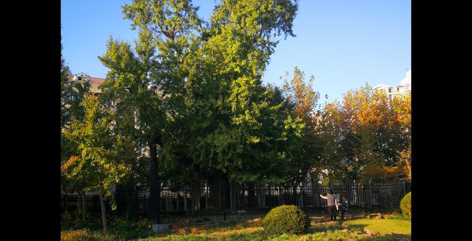 泾南公园内一株已有1300年历史的银杏树。这棵银杏树的树干在一场大火中被烧焦了,在羽山路施工期间,由于地下供水切断,这棵树险些丧生。但是洋泾社区成员团结一心,联手救助这棵老树,并建立了泾南公园来长久地保护它。